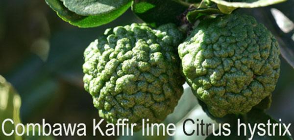 Makrut kaffir lime combava Citrus hystrix