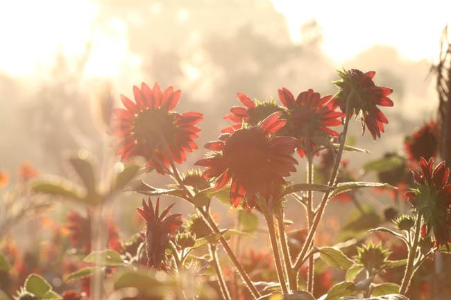 Red Sunflower tournesol  rouge