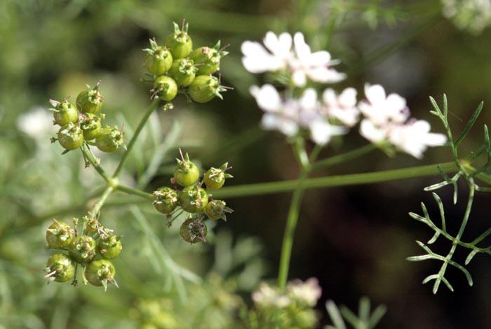 Coentro Coriander coriandre Coriandrum sativum