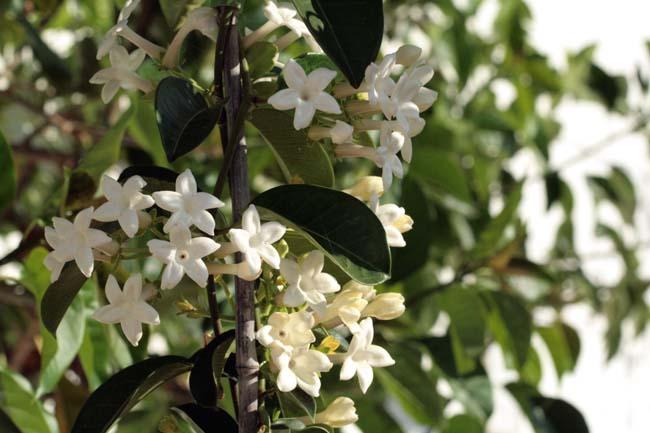 Madagascar Jasmine Madagascar stephanotis floribunda