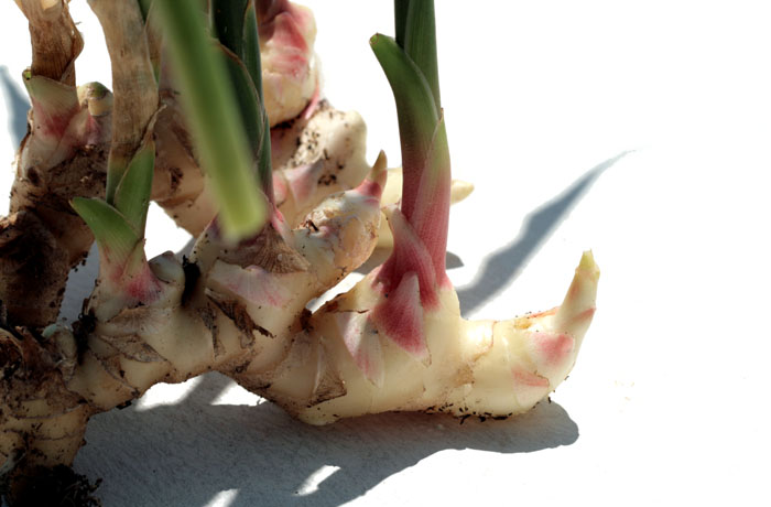 Ginger gengibre gingembre Zingiber officinale