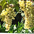 Raisin blanc grape