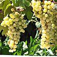 Raisin blanc grape
