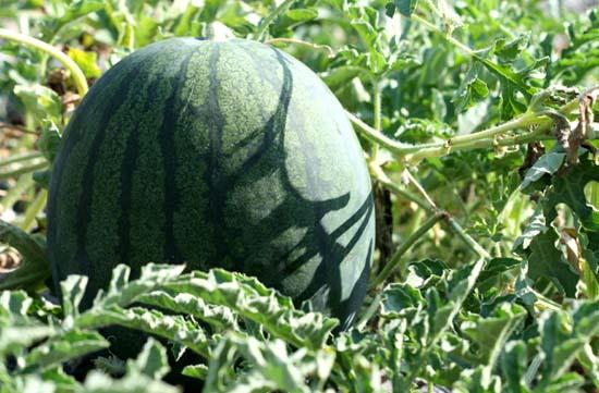 Watermelon pasteque melancia