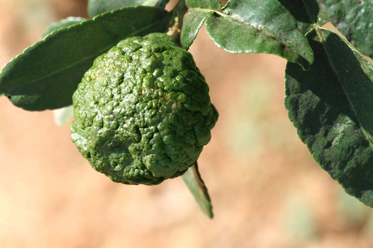 Combawa combava cumbava cumbaba makrut kaffir lime kieffer lime limau purut Citrus hystrix