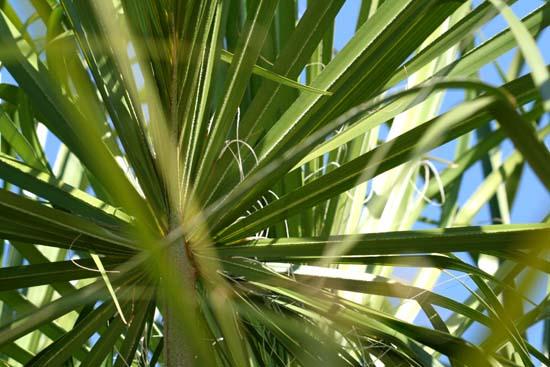 Palmier éventail d'Australie Australian Cabbage Palm livistonia australis
