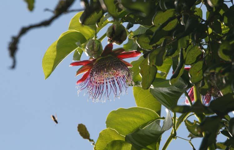 Barbadine Passiflora quadrangulis