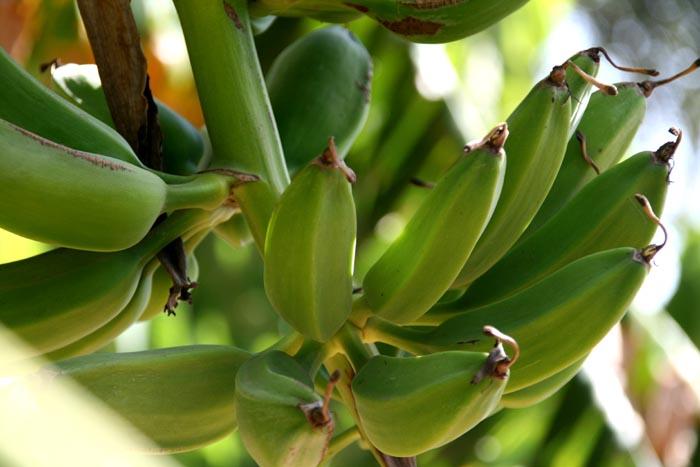 Banana bananes