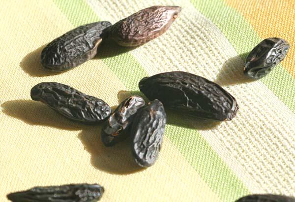 Tonka bean feve tonka cumaru Dipteryx odorata