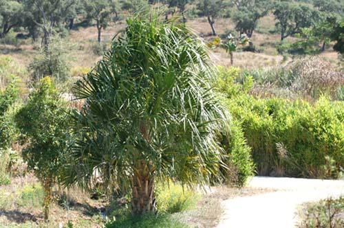 Australian Cabbage Palm livistona australis Palmier éventail d'Australie