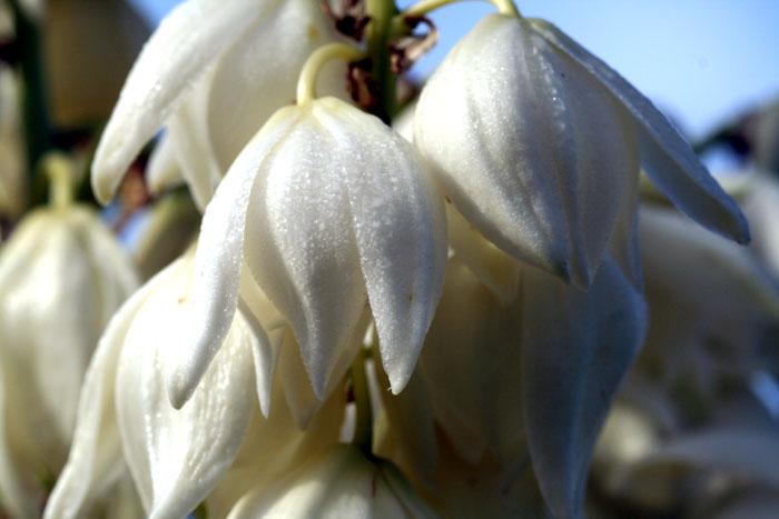Yucca blossom fleur yucca flor de itabo