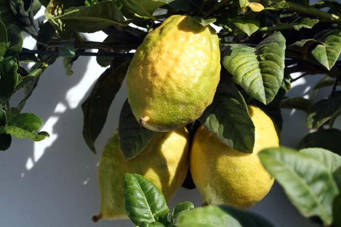 Etrog citron cedrat Citrus medica