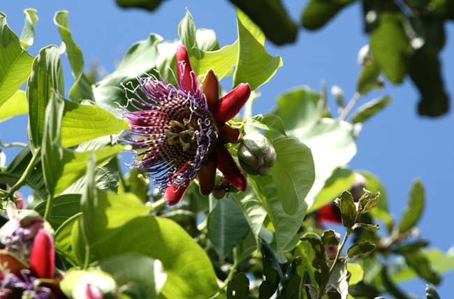 Giant Granadilla Giant Tumbo Badea passiflora quadrangulis
