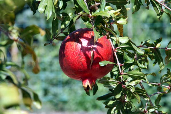Red Pomegranate grenade Punica granatum