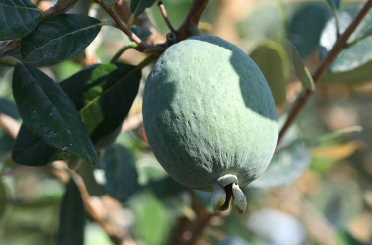 Feijoa pineapple guava