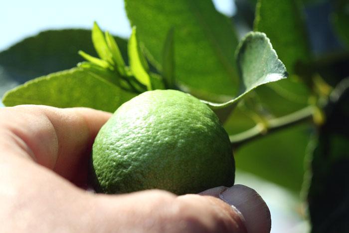 Lime citron vert lima