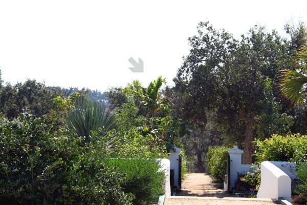 Caryota Urens palmier celeri