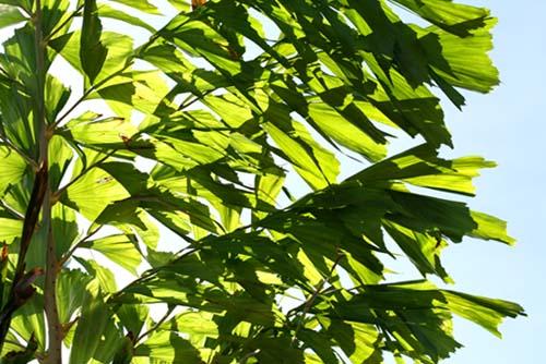 Fishtail Wine Palm palmier celeri Caryota Urens