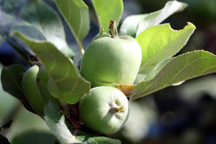 Apple Amboise pomme Maçã