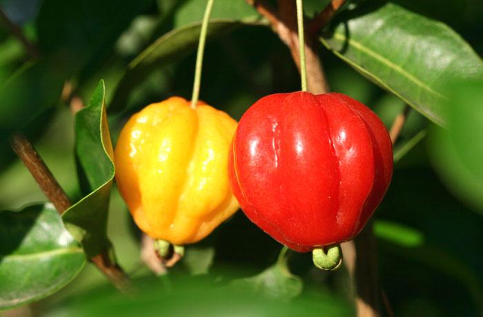 Pitangas cerise de Cayenne surinam cherry