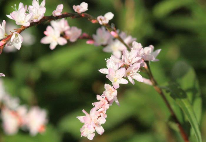 Fleur rau ram