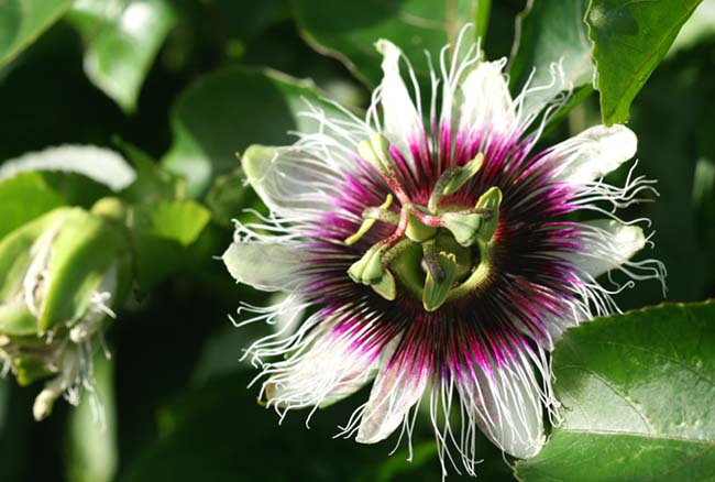 Maracuja Frederic passion fruit