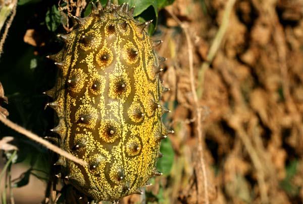 Horned melon kiwano métulon Cucumis metuliferus