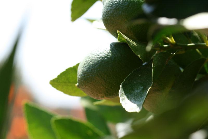 Persian lime de Perse C. latifolia