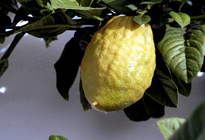 Citron ethrog cédrat citrus médica