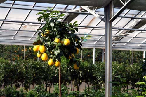 Topiaire de citronnier en boule