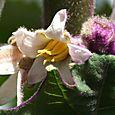 Lulo Solanum quitoensis
