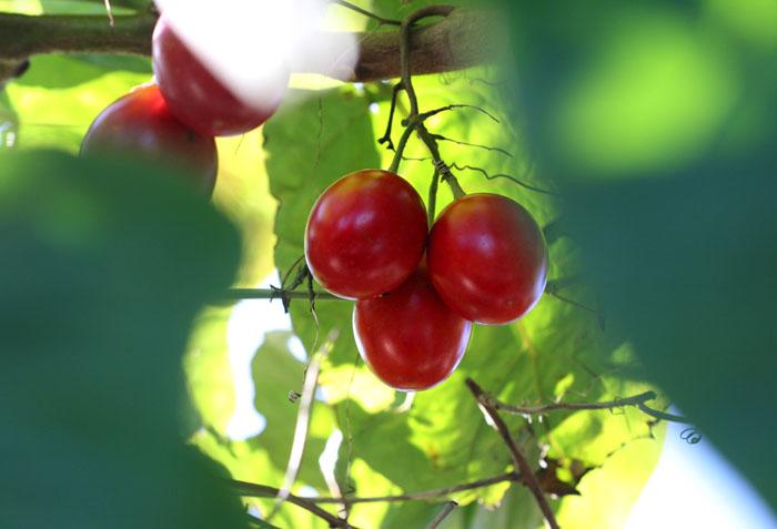 Tomate arbóreo Tamarilho Solanum betaceum