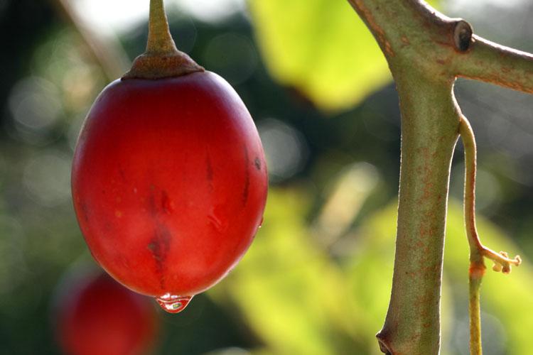 Tomate de árbol, sachatomate  tomate andino tamarillo Cyphomandra betacea
