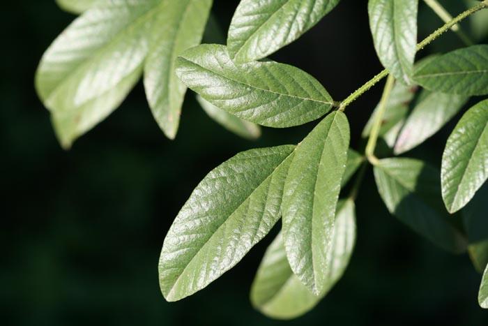 Culen Otholobium glandulosum Psoralea glandulosa