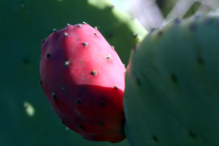 Prickly pear Figue de Barbarie Figueira Tuna Opuntia ficus-indica