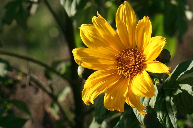 Mexican Sunflower tournesol mexicain Tithonia diversifolia