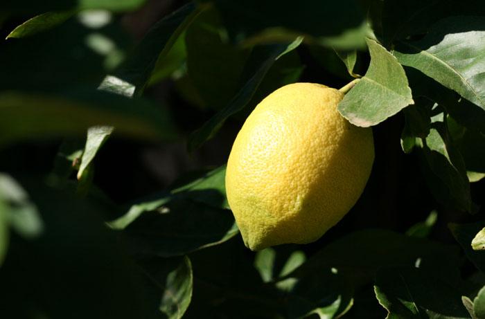 Lemon Primofiore citron limao Verna