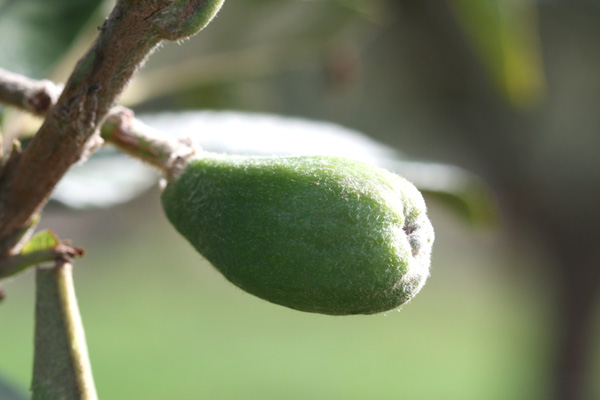 Green loquat ビワ nèfle japon verte bibace