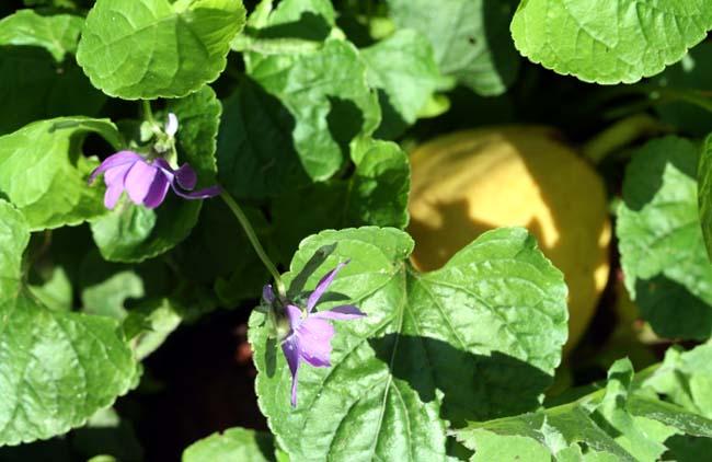 Goyave tombée dans les  violettes