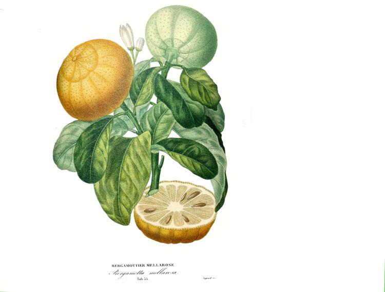 Bergamottier mellarose A. Poiteau Risso