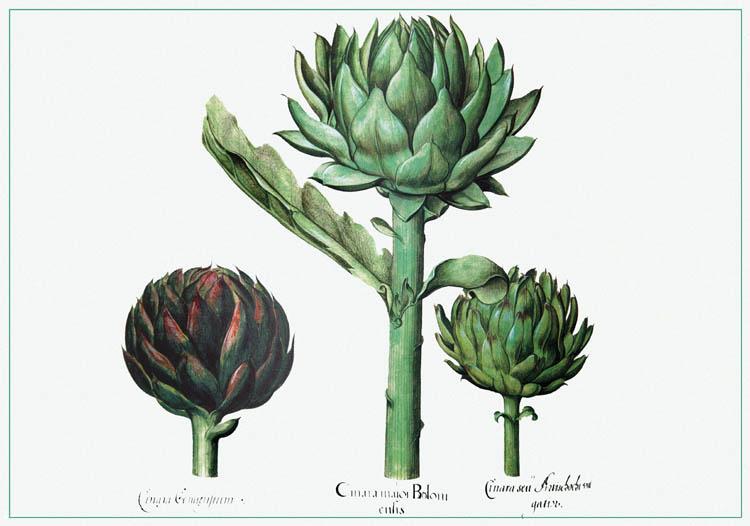 アーティチョーク Artichoke artichaut Alcachofra Hortus Eystettensis