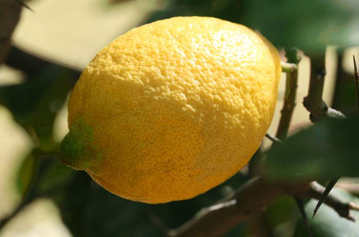 レモン verna lemon citron limone