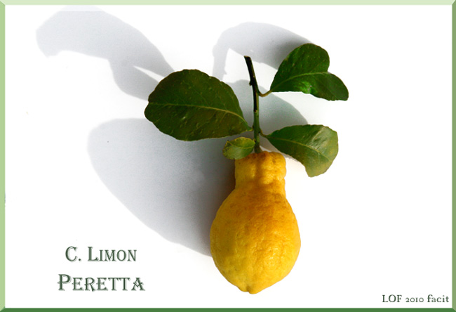 レモン ナシ属 citron peretta lemon