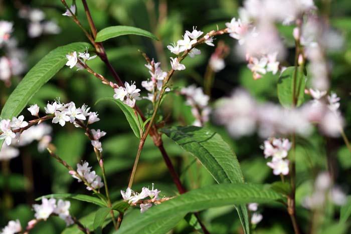 Rau Ram blossom fleur POLYGONUM ODORATUM