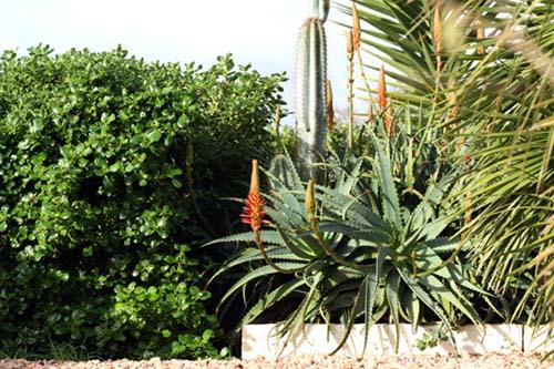 Aloe arborescent