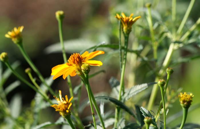 Mountain marigold Tagète de Lemmon Tagete lemmonii