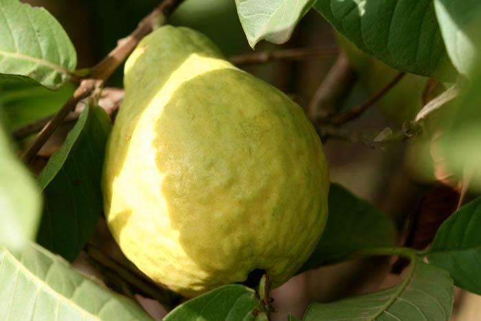 Goiaba branca goyave blanche guava withe
