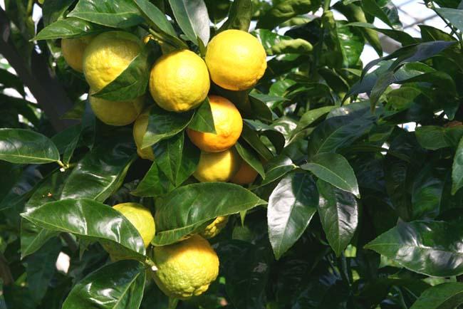 Volkamer lemon citron Citrus × jambhiri Volkamer