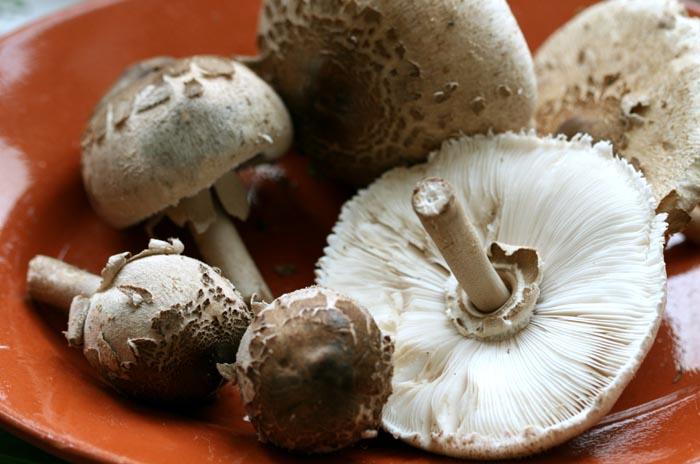 Macrolepiota procera Parasol mushroom coulemelle lepiote frade