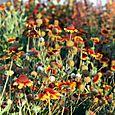 Firewheel, Indian blanket gaillardes Gaillardia pulchella